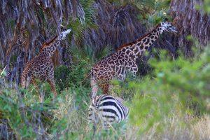 Giraffen auf dem Weg nach Amboseli