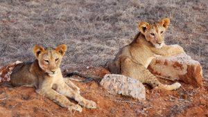 Löwenbabys nahe Ashnil Aruba Lodge in Tsavo East