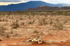 Junger Löwe in Tsavo East nahe Voi